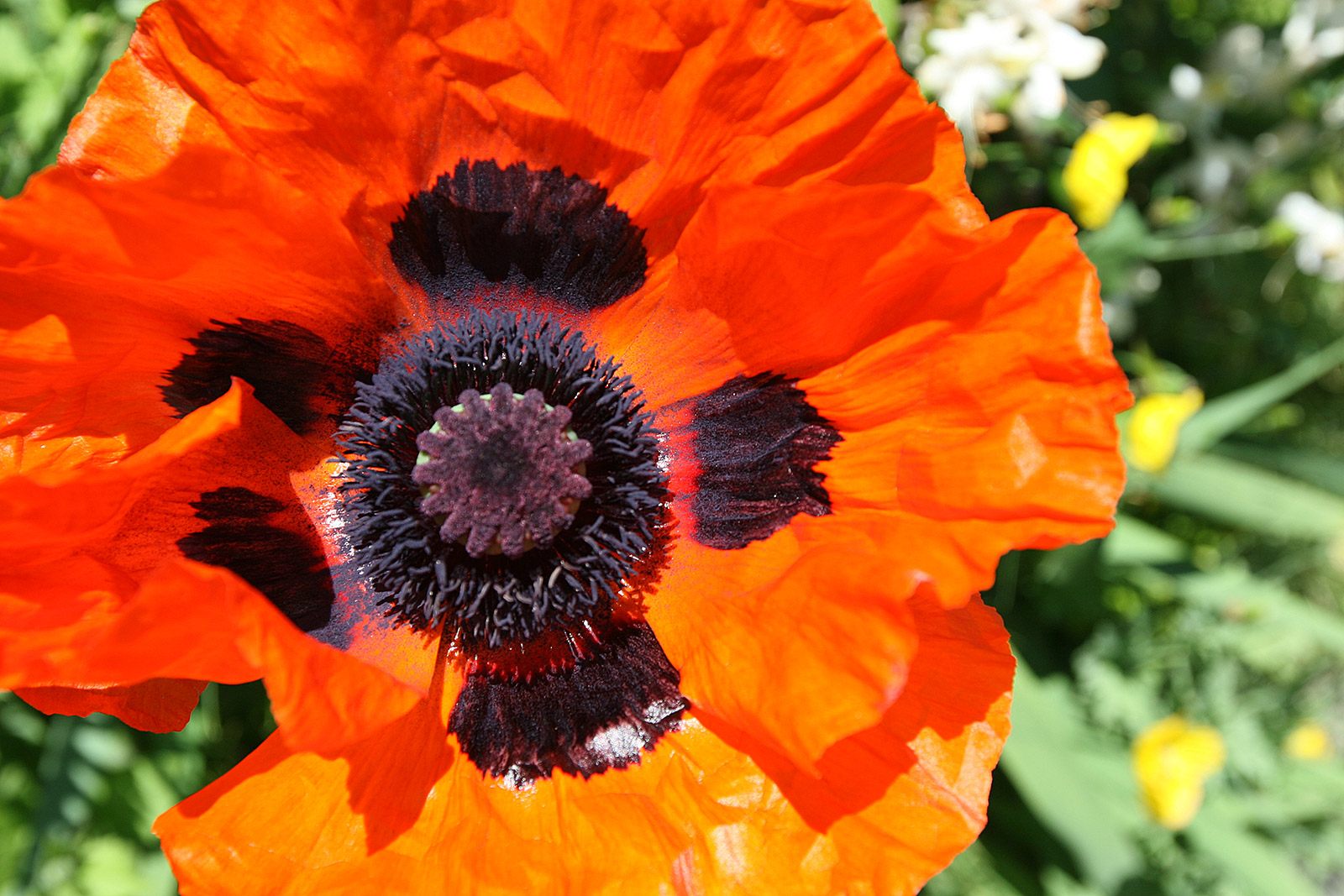 Nature Travel Photography Orange Poppy Flower